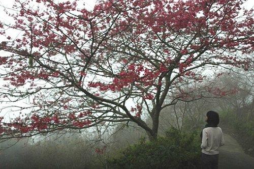 台东金针山樱花绽放 被誉为最美赏樱秘境
