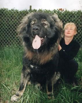 高加索犬与藏獒生死对决