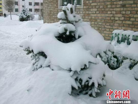 被积雪覆盖的小松树.