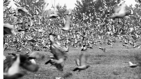 ...,开始了马拉松式回巢.   信鸽们被老天放了一回