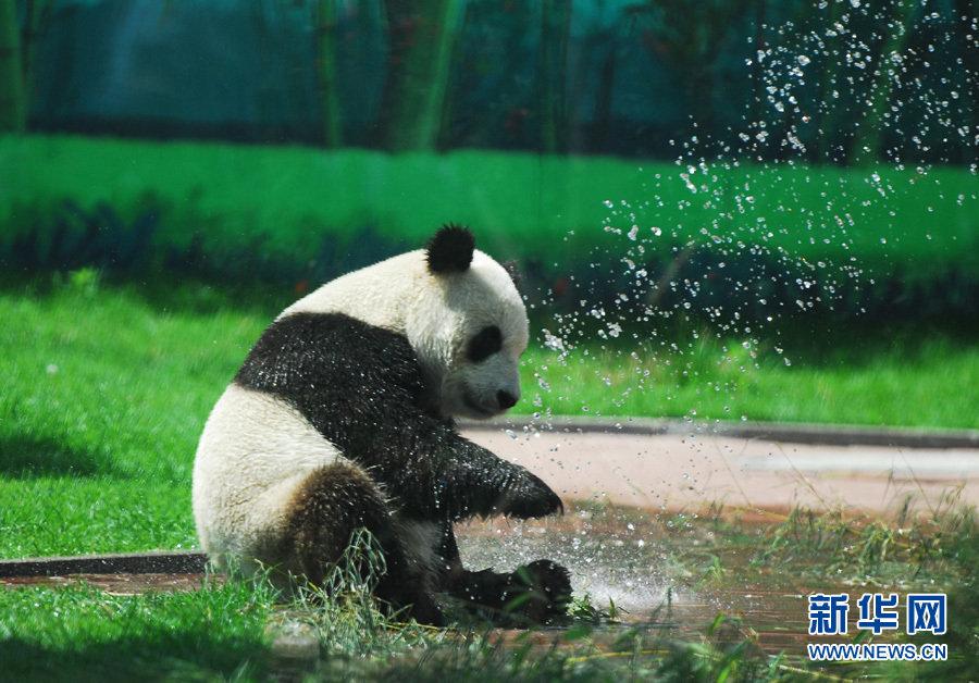 国家二级保护动物小熊猫和来自北美的小浣熊则爬上高高的大树,躺在