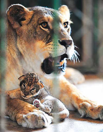 非洲狮一胎6崽