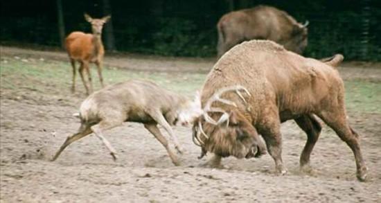 发情雄鹿挑战一吨重野牛重伤死亡组图