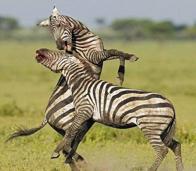 十大最惊心的动物搏杀场面 - 海阔山遥 - .