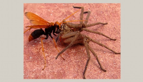 蜘蛛 老鼠 高手/蜘蛛虽是捕猎高手,但在食蛛蜂面前却完全没有还手之力。