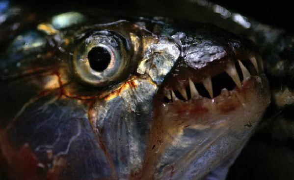 食人鱼水蟒电鳗 世界上13种最可怕的淡水动物【3】