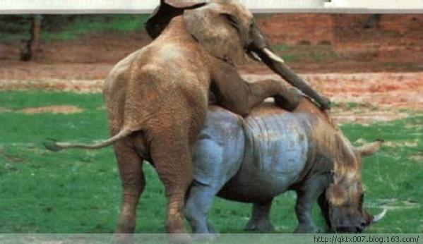 """""""发情""""动物的疯狂荒唐事:大象与犀牛交配(图)"""