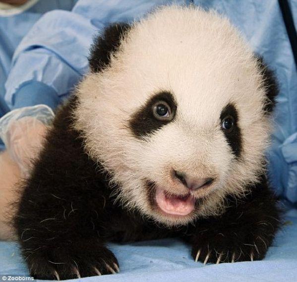 盘点可爱但濒临灭绝的动物宝宝:茶色蟆口鸱枭