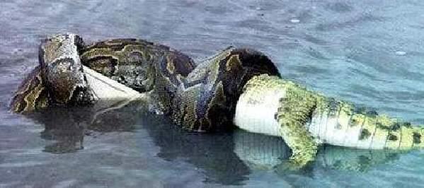 中有关于缅甸蟒蛇和短吻鳄这两种食肉动物的记录