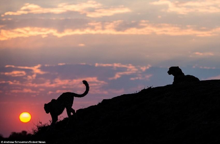 非洲野生动物壮丽剪影:日出时分的孤独狮王