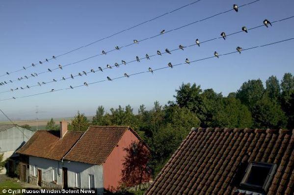 迁徙家燕中途停留电线杆上有趣场景