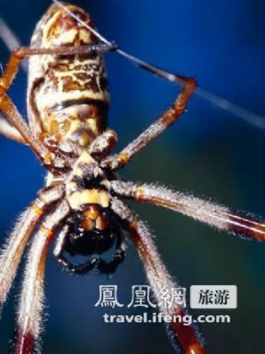 户外幽灵 世界上10种恐怖的巨型蜘蛛 横纹金蛛图片