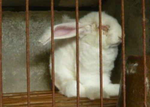 养殖场被指粗暴活揪兔子毛 兔子痛苦嚎叫