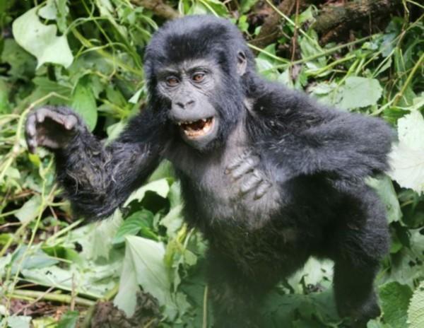 小猩猩动物照片