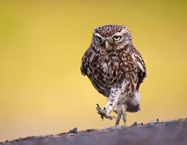 动物中的表情帝 猫头鹰摄影作品集锦