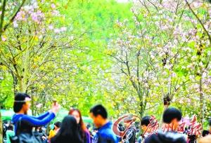 华南农业大学举行紫荆科技文化节开放日,校园内紫荆花开,吸引了校图片