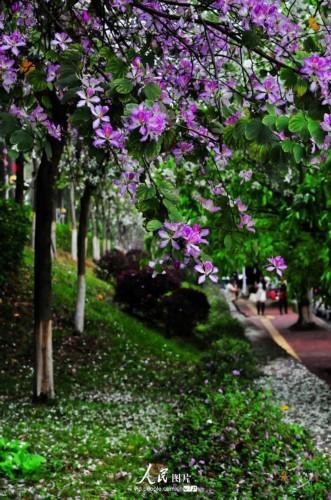 紫荆花海绽放华南农业大学图片