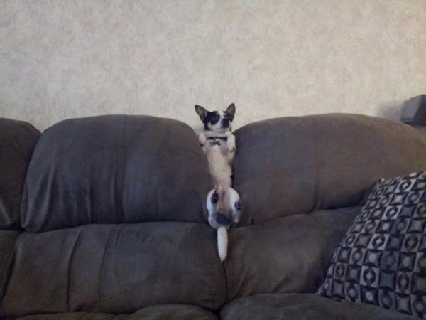 陷在沙发里的狗狗:二货汪星人的世界怎样理解(组图)
