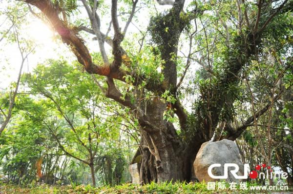 勐景来傣族园里参天的菩提树 摄影:徐毅然