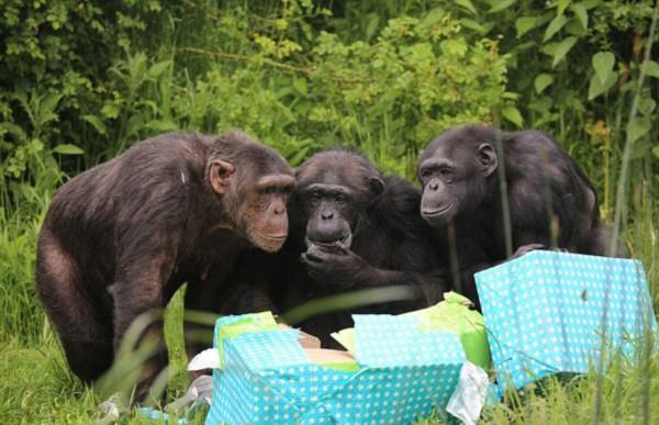 猴子和猩猩交配
