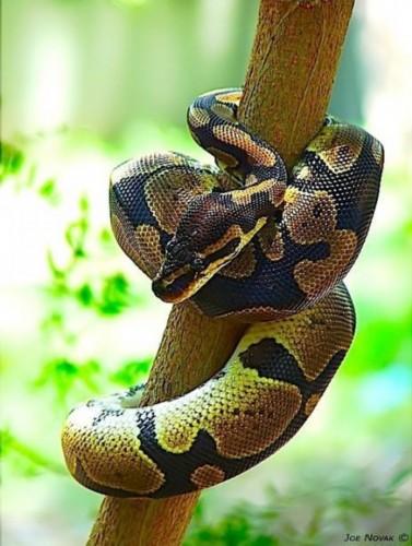 球蟒也以斑纹和体色的变异众多著称,一些罕见的品种可以卖到5万美元甚至更高的价格。这种来自西部非洲的蛇类以其防守策略得名,即在遇到威胁时可以紧缩成球体,并将头部保护在球体中心。捕猎的时候,球蟒利用结实的肌肉束紧猎物,使其血液流动停止,并在不到一分钟内死去。