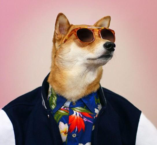 柴犬狗菩提树因为潮流男装造型走红网络(网页截图)   国际在线专稿:据英国《每日邮报》7月21日报道,纽约一只柴犬狗的潮流男装造型近期在网络上刮起一股时尚旋风,受到网友的热烈追捧,它的照片甚至登上了时尚GQ杂志,在 Instagram上已经拥有逾14万粉丝。   这只四岁的狗狗名叫菩提树(Bodhi),某个周六中午,主人叶纳基姆(Yena Kim,27岁)和戴夫方(Dave Fung,29岁)因为无聊打发时间将它装扮了一番:为它穿上了最时髦的男装并拍了照上传到了他们个人的FACEBOOK页面,