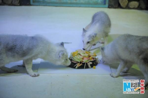 为了配合舌尖系列主题活动,在中秋节期间,市民不仅可以看到精彩的舌尖上的极地,还能在科普互动区,亲手为动物制作月饼,在指定展区观看极地动物吃月饼表演,天津海昌极地海洋世界营销部经理单文怡说:制作月饼的材料选用的是纯天然的食用鱼胶粉,配以极地动物们喜欢的新鲜磷虾、多春鱼、水果等辅料,游客可以根据动物喜好自由选择食材,在为动物做完月饼以后,可以委托驯养员将月饼进行深加工并投喂。