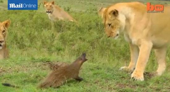 獴遭4只狮子围堵吼叫迎战:咬中狮鼻得胜而去
