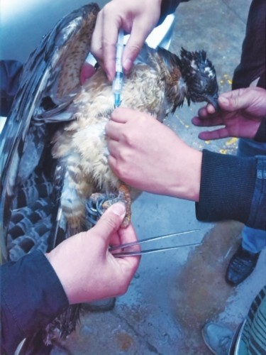 腹��_一只国家二级保护动物白腹雕在洛阳获救