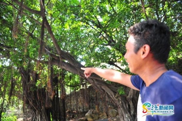 梁先生/10月8日,梁先生说,蟒蛇就是出现在这颗树上。(三亚新闻网记者...