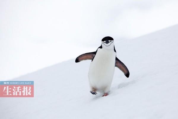 (图为一只可爱的企鹅在白雪皑皑的斜坡上行走,憨态可掬.