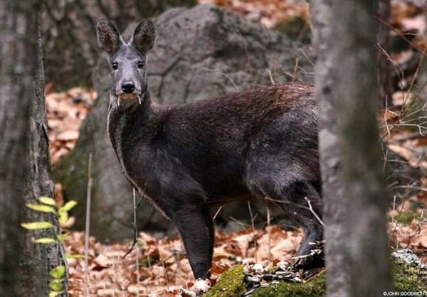 """阿富汗发现罕见尖牙哺乳动物""""吸血鬼鹿"""" ,为60年来首次目击."""
