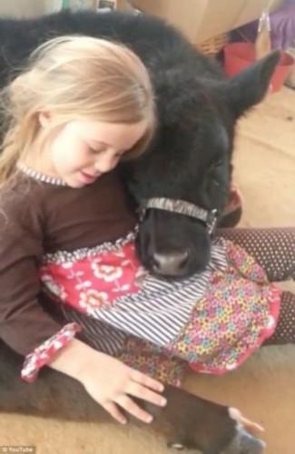 视频截图:美国5岁女童布里安娜与一头小牛亲密无间