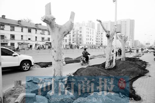 郑州 地铁/郑州桐柏路上,3棵梧桐即将被移走,这里将成为地铁5号线的施工...
