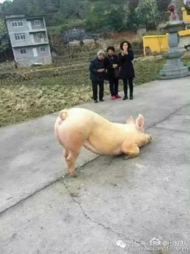 一头猪跑寺院跪拜引围观