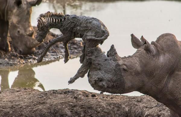 尽管从泥潭中脱离出来了,小斑马几乎被犀牛的突然行动顶飞。 (神秘的地球报道)据国际在线(米粒):英国《每日邮报》3月2日报道,,南非导游兼野生动物摄影师罗埃尔·默伊登日前在马蒂克维野生动物保护区(Madikwe Game Reserve)内亲眼目睹悲惨一幕,一匹斑马幼崽深陷泥潭、危在旦夕,一头重达约2吨的犀牛发现后试图用它的角将斑马拱出来,不幸却将小斑马刺死。   据默伊登介绍,当时,这匹可怜的小斑马疑似被族群遗弃,陷入泥潭已经多时,它悲惨的喊叫声引来了附近这只犀牛的关注。最终,