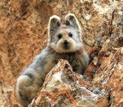 至少30年没有被看到了,科学家都以为它们已经灭绝了……   伊犁鼠兔