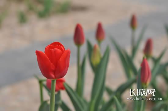 石家庄植物园内待放的郁金香高清图片