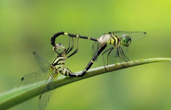动物繁衍生息的季节,摄影师在印度尼西亚拍摄了一组罕见的昆虫交尾