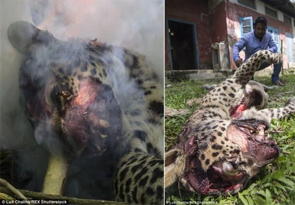 图集详情:   【环球网报道 实习记者张骜】据英国每日邮报8月3日报道,印度村民遭遇一只豹子的凶猛突袭,5人受伤。村民最终将豹子乱棍打死并焚烧其尸体。   印度林业部门称,在印度阿萨姆邦东北部的西布萨加尔地区,几名村民被一只7岁大的成年豹子突袭。当地村民随后打死豹子后点燃柴火焚烧了它的尸体。村民称为了保命才打死了豹子。   印度常有村民杀死豹子事件。一旦村民在居住处附近发现豹子便会将其打死。几周前,一只母豹就惨遭灭顶之灾。据称,当时那只母豹由于恐惧躲避人类时误入村庄,被愤怒的村民用棒斧打死。村民砍下它
