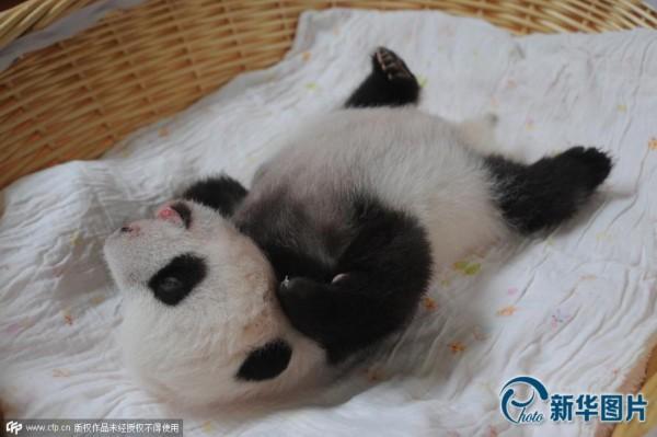 2015年新生熊猫宝宝首次亮相 萌物酣睡逗翻众人