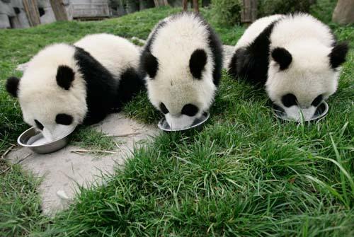"""有时候,单从部分国外动物园的相关收支来看,租来大熊猫像是""""赔本的"""