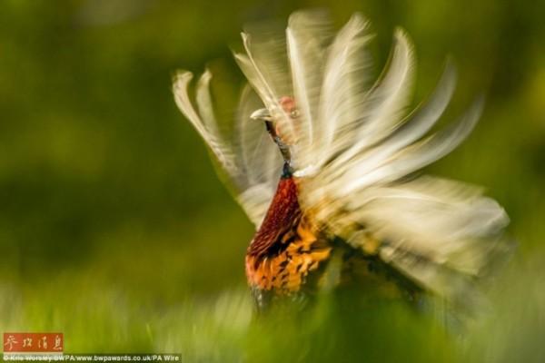 最佳动物行为摄影作品,来自纽瓦克kris worsley拍摄的一只运动中的