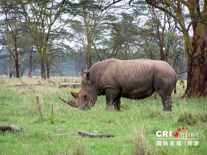 大象:非洲象是任何野外观光游中最让人叹为观止的动物。这些巨型动物或以紧密的母系结构成群生活,或者组成松散的雄象群。它们有非常发达的社会秩序,以及使用超声波的通讯系统,这类超声波的传送距离超过八公里。我们才刚刚开始了解大象非常错综复杂的生活和社会秩序,但不幸的是,在此同时,大象将来的生存已经变得无法肯定。由于每头大象每天要消耗超过250公斤的植物,在一个非常大的区域内生活,它们正面临着由于人类人口增长而使其生栖地减少的问题。