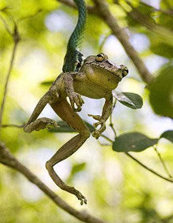 圖文:年度青年最佳圖片-進退兩難的樹蛙