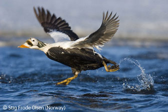 圖文:瀕危野生動物一等獎-起飛的景鳧