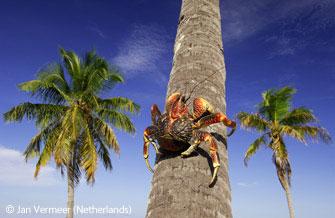 圖文:成人組動物與環境獎-椰子蟹