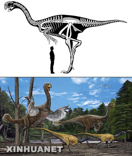这是中国科学院古脊椎动物与古人类研究所研究人员绘制的二连巨盗龙与身高约1.75米的成年男子对比图(上图)和二连巨盗龙复原图(下图)。 6月13日,中国科学院古脊椎动物与古人类研究所专家宣布,经研究确认,在内蒙古自治区二连浩特市发现的一具巨型兽脚类化石是当今世界上最大的似鸟恐龙化石。这具化石是我国科学家于2005年在内蒙古二连盆地大约8000万年前沉积的岩石中发现的,体长约8米,站立高度超过5米。中国科学院与内蒙古自治区国土资源局的学者经过两年的联合研究得出结论,这具化石属于鸟类的近亲――窃蛋龙类,而且是一种处于过渡类型的窃蛋龙,专家最终将其命名为二连巨盗龙。 新华社记者孙闻摄