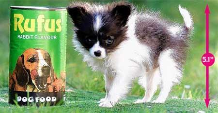 世界上最小的狗~(喜欢狗狗