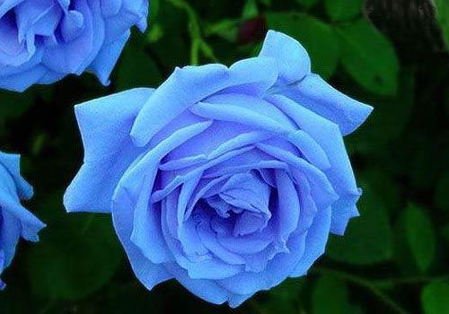 假的蓝色妖姬多少钱_蓝色妖姬竟是染成揭下蓝皮成红玫瑰临沂社